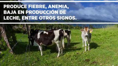 Photo of Produce fiebre, anemia, baja en producción de leche…